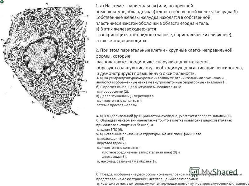 1. а) На схеме - париетальная (или, по прежней номенклатуре,обкладочная) клетка собственной железы желудка.б) Собственные железы желудка находятся в собственной пластинкеслизистой оболочки в области егодна и тела. в) В этих железах содержатся экзокри