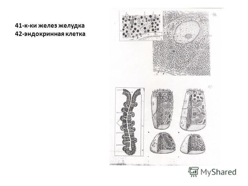 41-к-ки желез желудка 42-эндокринная клетка