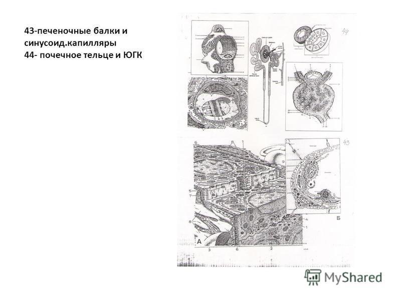 43-печеночные балки и синусоид.капилляры 44- почечное тельце и ЮГК