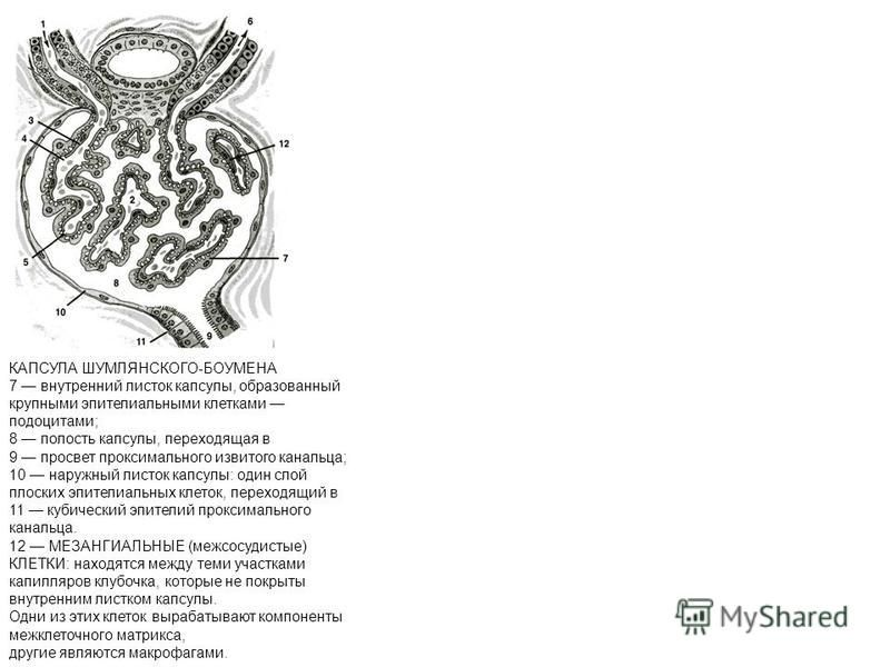 КАПСУЛА ШУМЛЯНСКОГО-БОУМЕНА 7 внутренний листок капсулы, образованный крупными эпителиальными клетками подоцитами; 8 полость капсулы, переходящая в 9 просвет проксимального извитого канальца; 10 наружный листок капсулы: один слой плоских эпителиальны