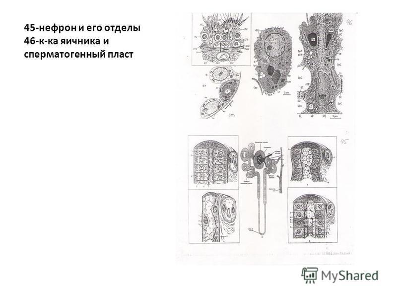 45-нефрон и его отделы 46-к-ка яичника и сперматогенный пласт