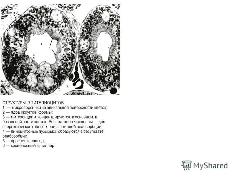СТРУКТУРЫ ЭПИТЕЛИОЦИТОВ 1 микроворсинки на апикальной поверхности клеток; 2 ядра округлой формы; 3 митохондрии: концентрируются, в основном, в базальной части клеток. Весьма многочисленны для энергетического обеспечения активной реабсорбции; 4 пиноци
