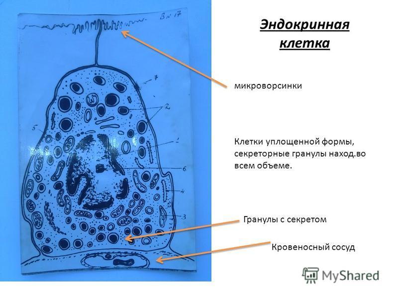 Эндокринная клетка Гранулы с секретом Кровеносный сосуд микроворсинки Клетки уплощенной формы, секреторные гранулы наход.во всем объеме.