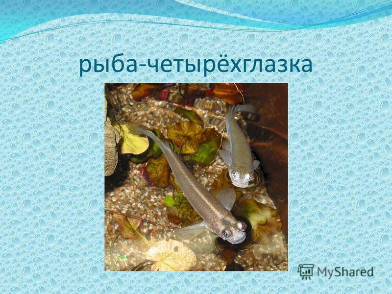 рыба-четырёхглазка
