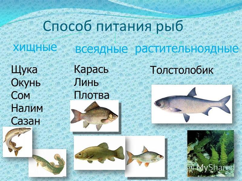 Способ питания рыб хищные всеядные растительноядные Щука Окунь Сом Налим Сазан Карась Линь Плотва Толстолобик