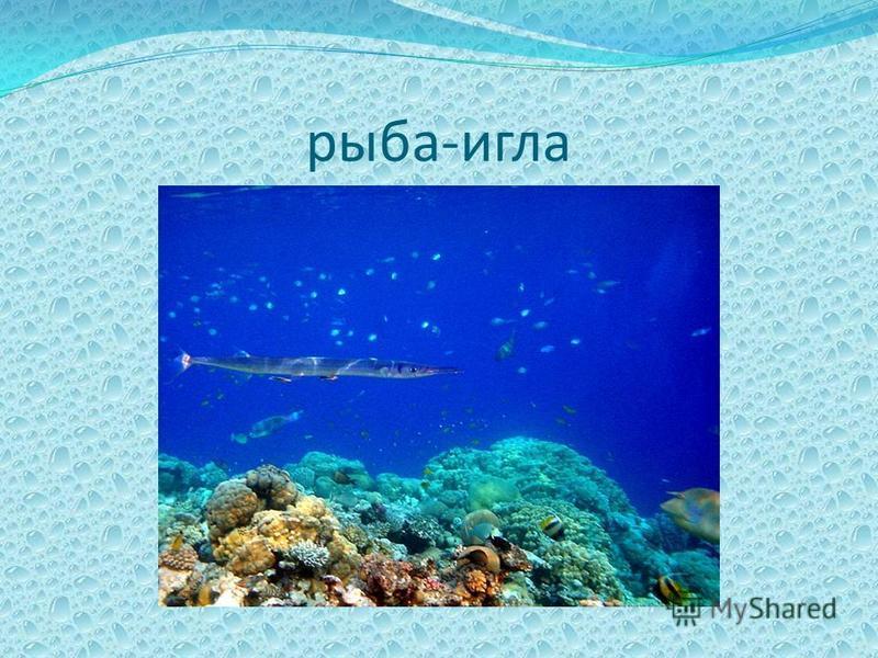 рыба-игла