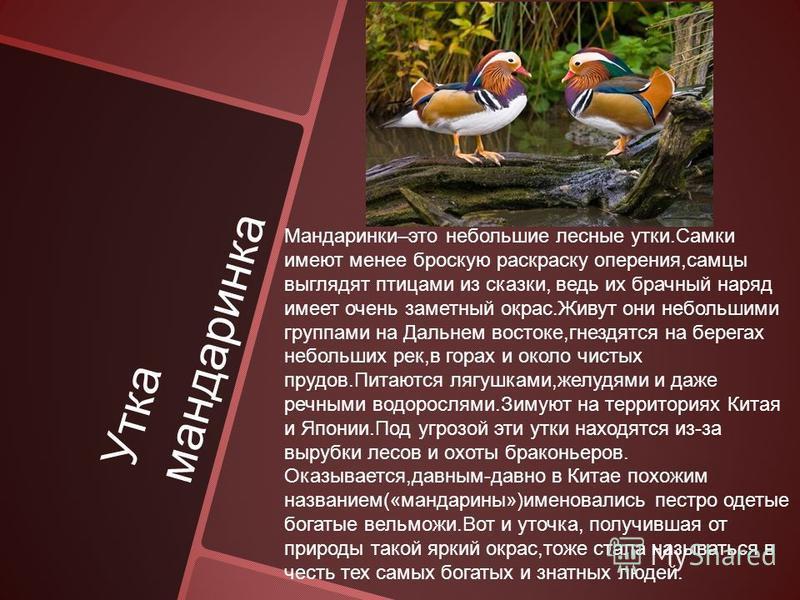 Утка мандаринка Мандаринки–это небольшие лесные утки.Самки имеют менее броскую раскраску оперения,самцы выглядят птицами из сказки, ведь их брачный наряд имеет очень заметный окрас.Живут они небольшими группами на Дальнем востоке,гнездятся на берегах