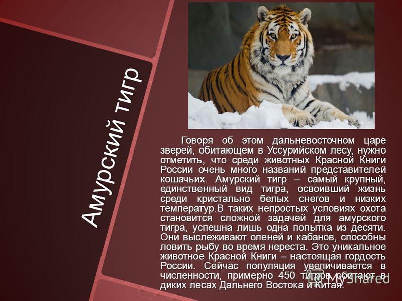 Амурский тигр Говоря об этом дальневосточном царе зверей, обитающем в Уссурийском лесу, нужно отметить, что среди животных Красной Книги России очень много названий представителей кошачьих. Амурский тигр – самый крупный, единственный вид тигра, освои