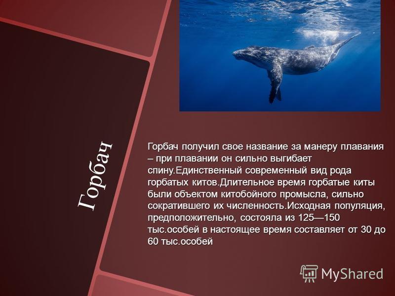 Горбач Горбач получил свое название за манеру плавания – при плавании он сильно выгибает спину.Единственный современный вид рода горбатых китов.Длительное время горбатые киты были объектом китобойного промысла, сильно сократившего их численность.Исхо