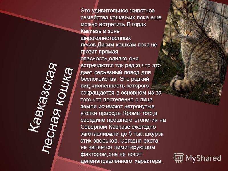 Кавказская лесная кошка Это удивительное животное семейства кошачьих пока еще можно встретить.В горах Кавказа в зоне широколиственных лесов.Диким кошкам пока не грозит прямая опасность,однако они встречаются так редко,что это дает серьезный повод для