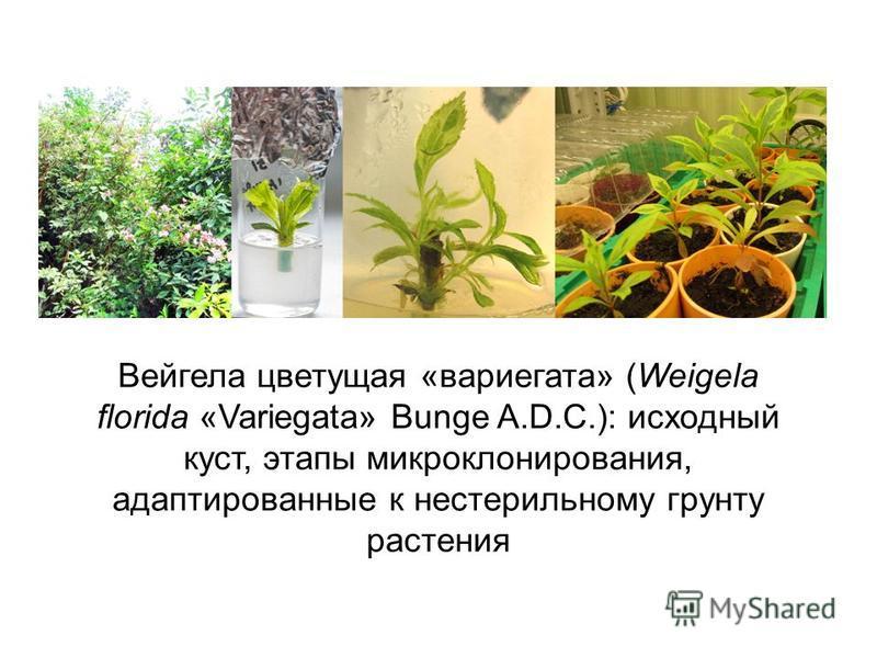 Вейгела цветущая «вариегата» (Weigela florida «Variegata» Bunge A.D.C.): исходный куст, этапы микро клонирования, адаптированные к нестерильному грунту растения