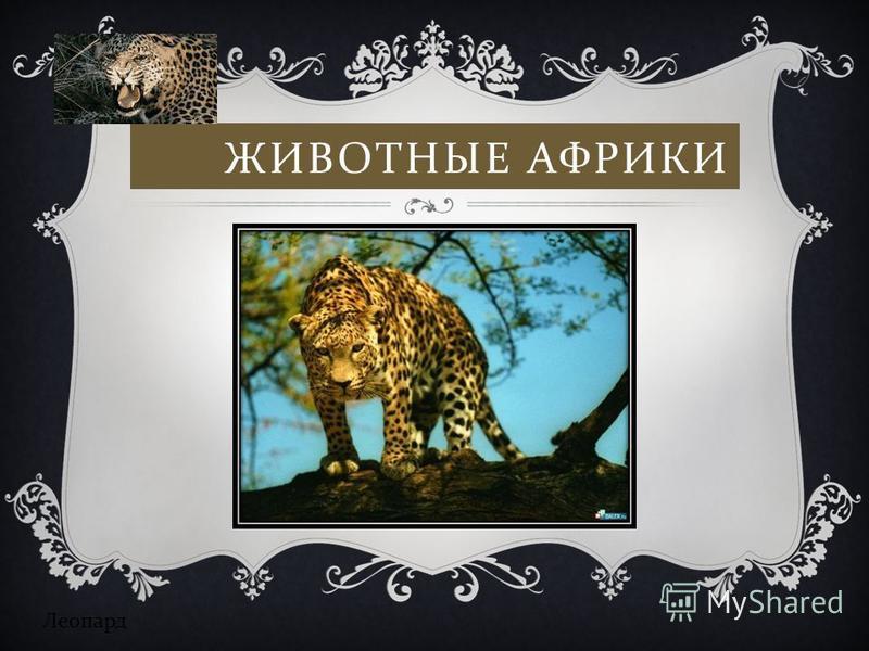ЖИВОТНЫЕ АФРИКИ Леопард