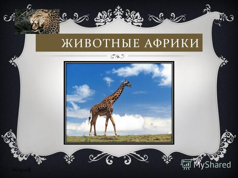ЖИВОТНЫЕ АФРИКИ Жираф