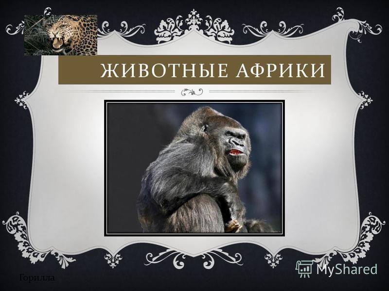 ЖИВОТНЫЕ АФРИКИ Горилла
