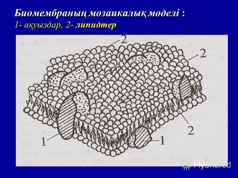 Биомембраның мозаикалық моделі : 1- ақуыздар, 2- липидтер