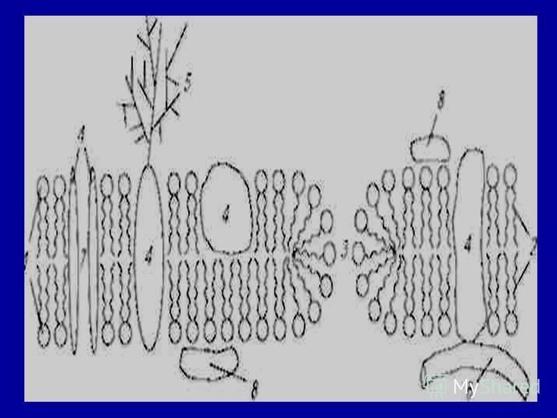 Мембрана қозғалмайтын құрылым емс. Липидтер мен ақуыздар орын алмастырып отрады, олардың бір мембраналық қабат бойымен орын алмастыруын (латералдық диффузия) бір липидтік қабаттан басқа липидтік қабатқа өтуін: (флип-флоп)