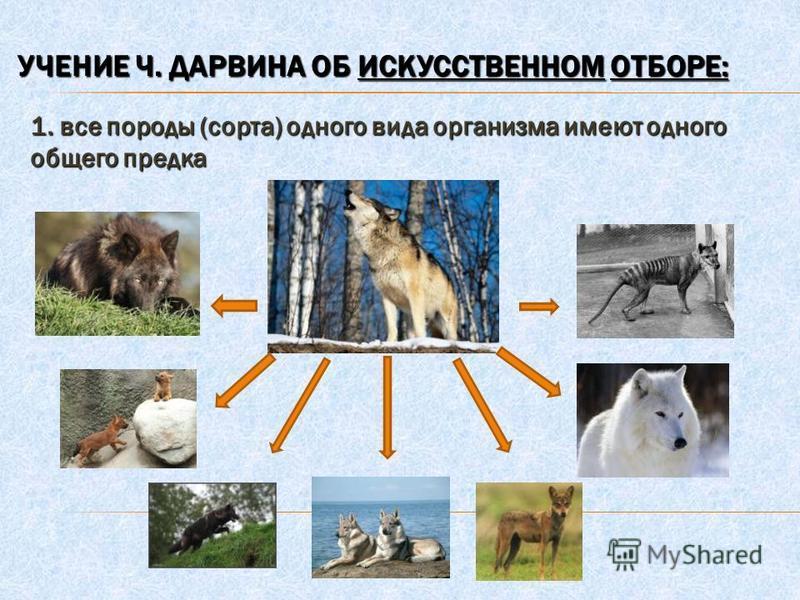 УЧЕНИЕ Ч. ДАРВИНА ОБ ИСКУССТВЕННОМ ОТБОРЕ: 1. все породы (сорта) одного вида организма имеют одного общего предка