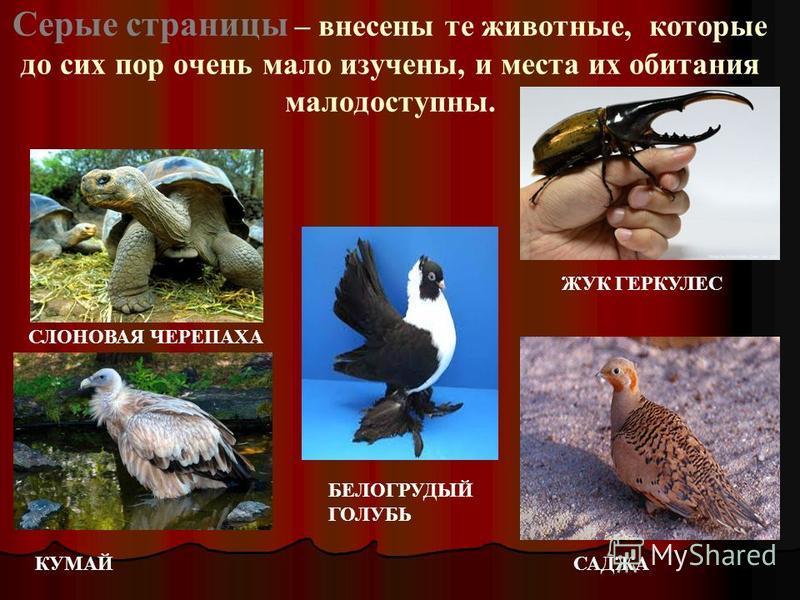 Серые страницы – внесены те животные, которые до сих пор очень мало изучены, и места их обитания малодоступны. СЛОНОВАЯ ЧЕРЕПАХА ЖУК ГЕРКУЛЕС КУМАЙ БЕЛОГРУДЫЙ ГОЛУБЬ САДЖА