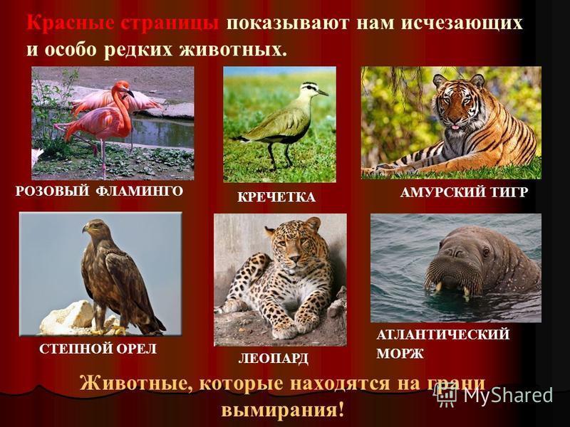 Красные страницы показывают нам исчезающих и особо редких животных. Животные, которые находятся на грани вымирания! СТЕПНОЙ ОРЕЛ АТЛАНТИЧЕСКИЙ МОРЖ АМУРСКИЙ ТИГР ЛЕОПАРД КРЕЧЕТКА РОЗОВЫЙ ФЛАМИНГО