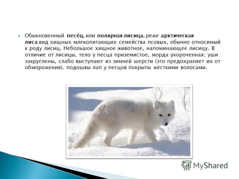 Обыкновенный пьесе́ц, или полярная лисица, реже арктическая лиса вид хищных млекопитающих семейства псовых, обычно относимый к роду лисиц. Небольшое хищное животное, напоминающее лисицу. В отличие от лисицы, тело у песца приземистое, морда укороченна