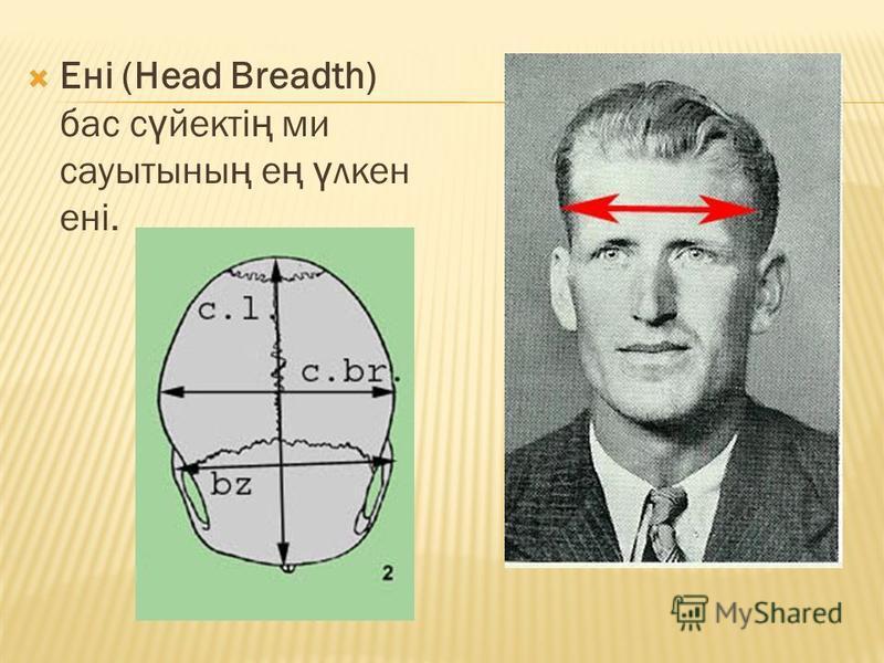 Ені (Head Breadth) бас с ү вектi ң ми сауытссыны ң е ң ү клен енi.