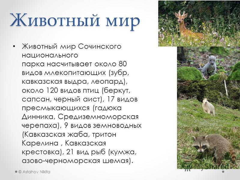 © Astahov Nikita Животный мир Животный мир Сочинского национального парка насчитывает около 80 видов млекопитающих (зубр, кавказская выдра, леопард), около 120 видов птиц (беркут, сапсан, черный аист), 17 видов пресмыкающихся (гадюка Динника, Средизе