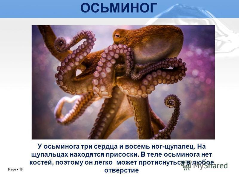 Page 16 ОСЬМИНОГ У осьминога три сердца и восемь ног-щупалец. На щупальцах находятся присоски. В теле осьминога нет костей, поэтому он легко может протиснуться в любое отверстие