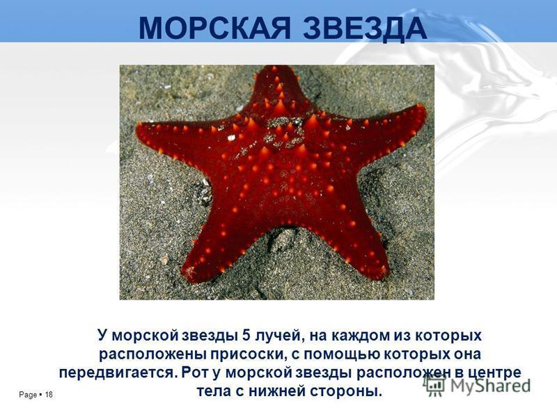 Page 18 МОРСКАЯ ЗВЕЗДА У морской звезды 5 лучей, на каждом из которых расположены присоски, с помощью которых она передвигается. Рот у морской звезды расположен в центре тела с нижней стороны.