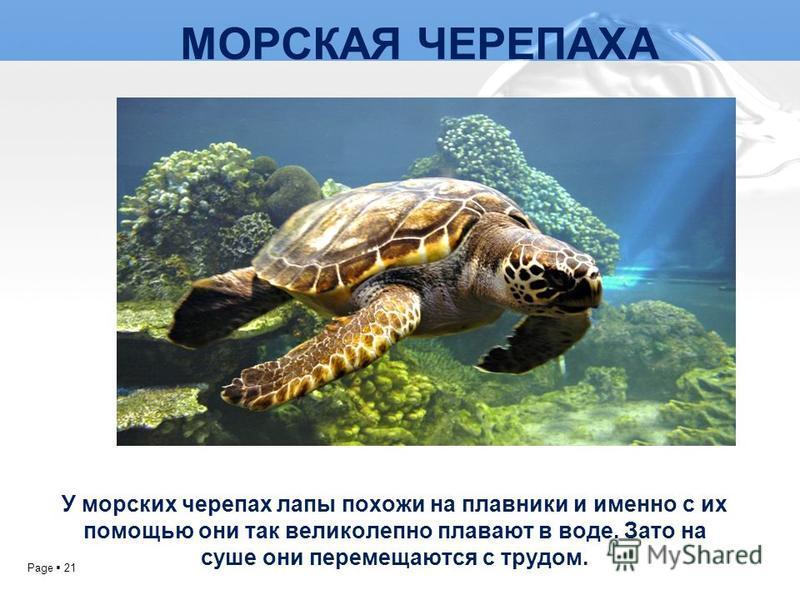 Page 21 МОРСКАЯ ЧЕРЕПАХА У морских черепах лапы похожи на плавники и именно с их помощью они так великолепно плавают в воде. Зато на суше они перемещаются с трудом.