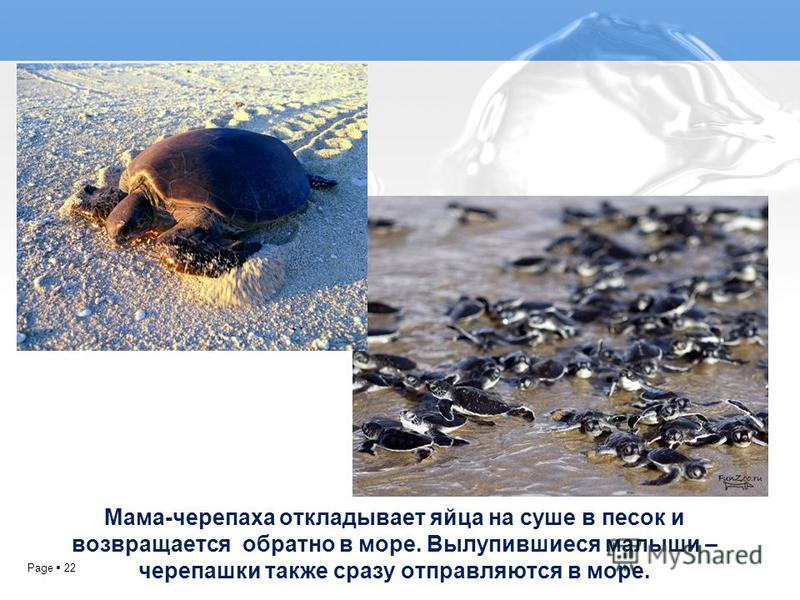 Page 22 Мама-черепаха откладывает яйца на суше в песок и возвращается обратно в море. Вылупившиеся малыши – черепашки также сразу отправляются в море.