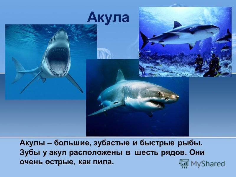 Акула Акулы – большие, зубастые и быстрые рыбы. Зубы у акул расположены в шесть рядов. Они очень острые, как пила.