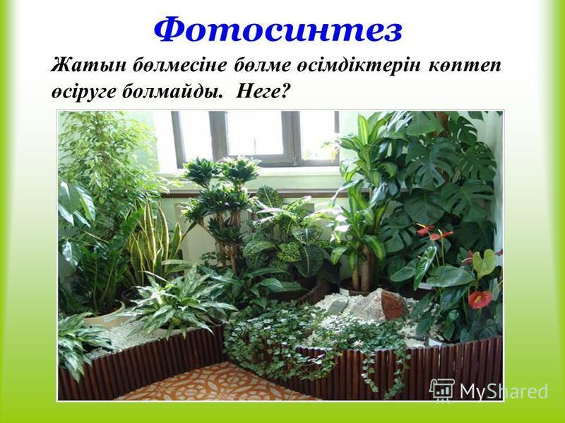 Фотосинтез Жатын бөлмесіне бөлме өсімдіктерін көптеп өсіруге болмайды. Неге?