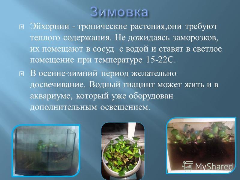 Эйхорнии - тропические растения, они требуют теплого содержания. Не дожидаясь заморозков, их помещают в сосуд с водой и ставят в светлое помещение при температуре 15-22 С. В осенне - зимний период желательно досвечивание. Водный гиацинт может жить и