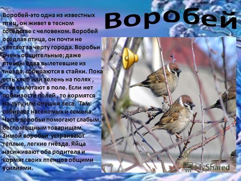 Воробей-это одна из известных птиц, он живет в тесном соседстве с человеком. Воробей осёдлая птица, он почти не улетает за черту города. Воробьи очень общительные; даже птенцы едва вылетевшие из гнезда, собираются в стайки. Пока есть хлеб или зелень
