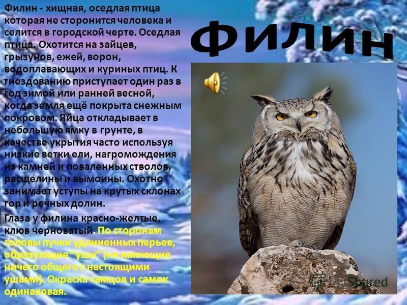 Филин - хищная, оседлая птица которая не сторонится человека и селится в городской черте. Оседлая птица. Охотится на зайцев, грызунов, ежей, ворон, водоплавающих и куриных птиц. К гнездованию приступает один раз в год зимой или ранней весной, когда з
