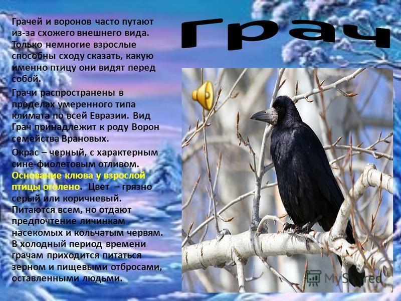 Грачей и воронов часто путают из-за схожего внешнего вида. Только немногие взрослые способны сходу сказать, какую именно птицу они видят перед собой. Грачи распространены в пределах умеренного типа климата по всей Евразии. Вид Грач принадлежит к роду