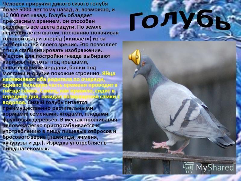 Человек приручил дикого сизого голубя более 5000 лет тому назад, а, возможно, и 10 000 лет назад. Голубь обладает прекрасным зрением, он способен различать все цвета радуги. По земле передвигается шагом, постоянно покачивая головой взад и вперёд («ки