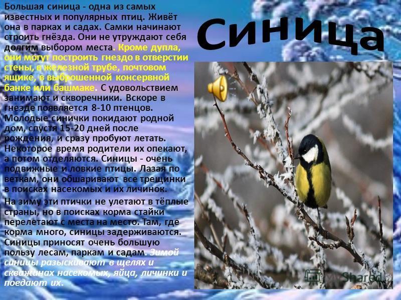 Большая синица - одна из самых известных и популярных птиц. Живёт она в парках и садах. Самки начинают строить гнёзда. Они не утруждают себя долгим выбором места. Кроме дупла, они могут построить гнездо в отверстии стены, в железной трубе, почтовом я