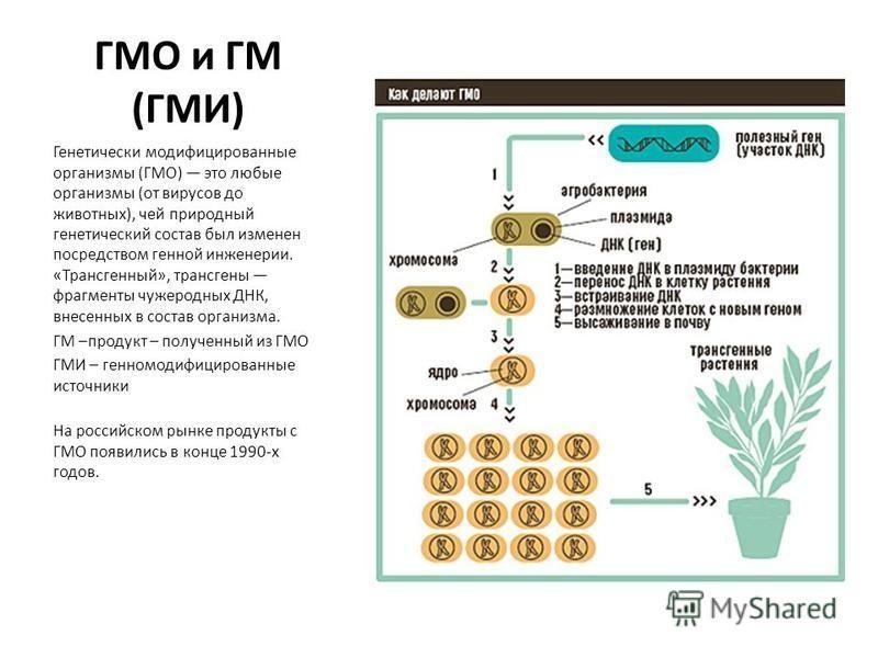 ГМО и ГМ (ГМИ) Генетически модифицированные организмы (ГМО) это любые организмы (от вирусов до животных), чей природный генетический состав был изменен посредством генной инженерии. «Трансгенный», трансгены фрагменты чужеродных ДНК, внесенных в соста