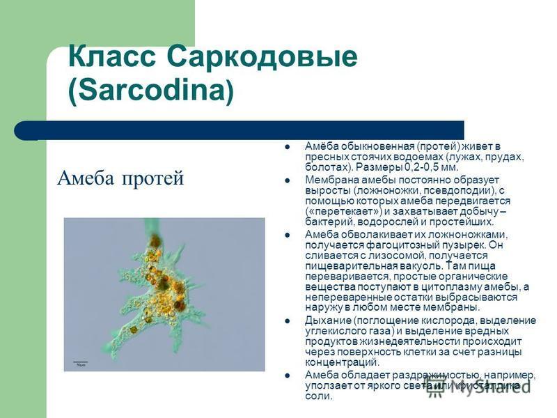 Класс Саркодовые (Sarcodina ) Амеба протей Амёба обыкновенная (протей) живет в пресных стоячих водоемах (лужах, прудах, болотах). Размеры 0,2-0,5 мм. Мембрана амебы постоянно образует выросты (ложноножки, псевдоподии), с помощью которых амеба передви