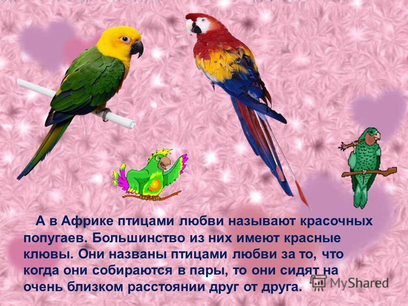 А в Африке птицами любви называют красочных попугаев. Большинство из них имеют красные клювы. Они названы птицами любви за то, что когда они собираются в пары, то они сидят на очень близком расстоянии друг от друга.