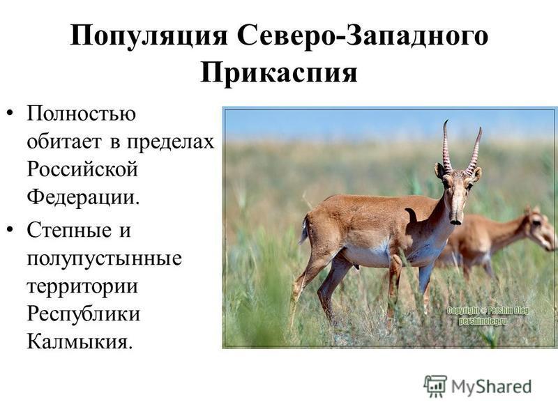 Популяция Северо-Западного Прикаспия Полностью обитает в пределах Российской Федерации. Степные и полупустынные территории Республики Калмыкия.