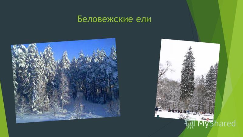Беловежские ели