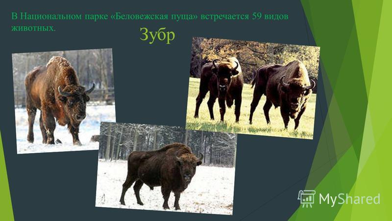 Зубр В Национальном парке «Беловежская пуща» встречается 59 видов животных.
