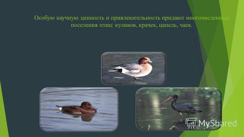 Особую научную ценность и привлекательность придают многочисленные поселения птиц: куликов, крачек, цапель, чаек.