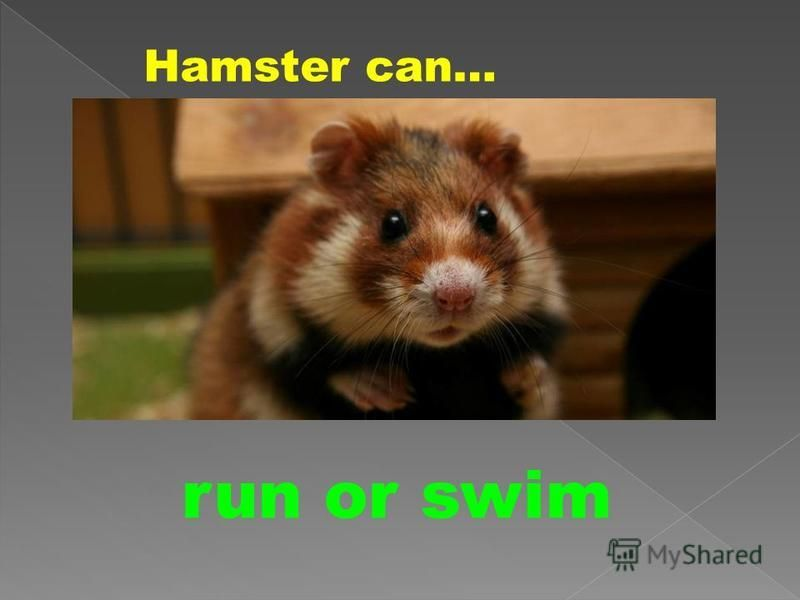 Hamster can… run or swim