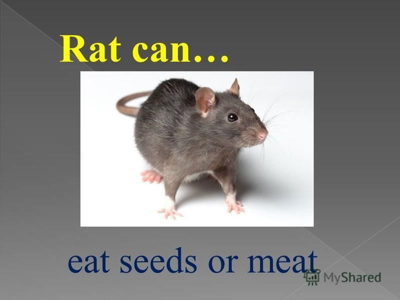 Rat can… eat seeds or meat