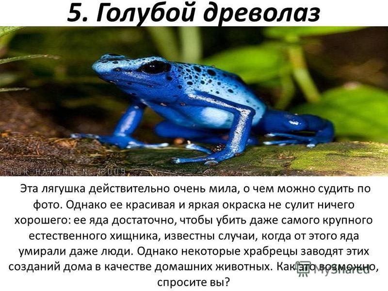 5. Голубой древолаз Эта лягушка действительно очень мила, о чем можно судить по фото. Однако ее красивая и яркая окраска не сулит ничего хорошего: ее яда достаточно, чтобы убить даже самого крупного естественного хищника, известны случаи, когда от эт