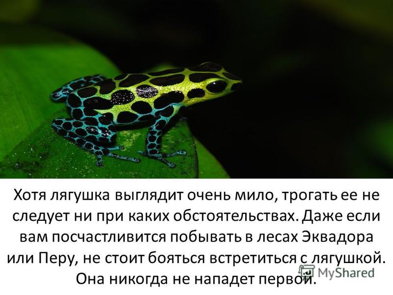 Хотя лягушка выглядит очень мило, трогать ее не следует ни при каких обстоятельствах. Даже если вам посчастливится побывать в лесах Эквадора или Перу, не стоит бояться встретиться с лягушкой. Она никогда не нападет первой.