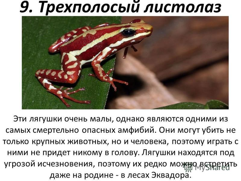 9. Трехполосый листолаз Эти лягушки очень малы, однако являются одними из самых смертельно опасных амфибий. Они могут убить не только крупных животных, но и человека, поэтому играть с ними не придет никому в голову. Лягушки находятся под угрозой исче